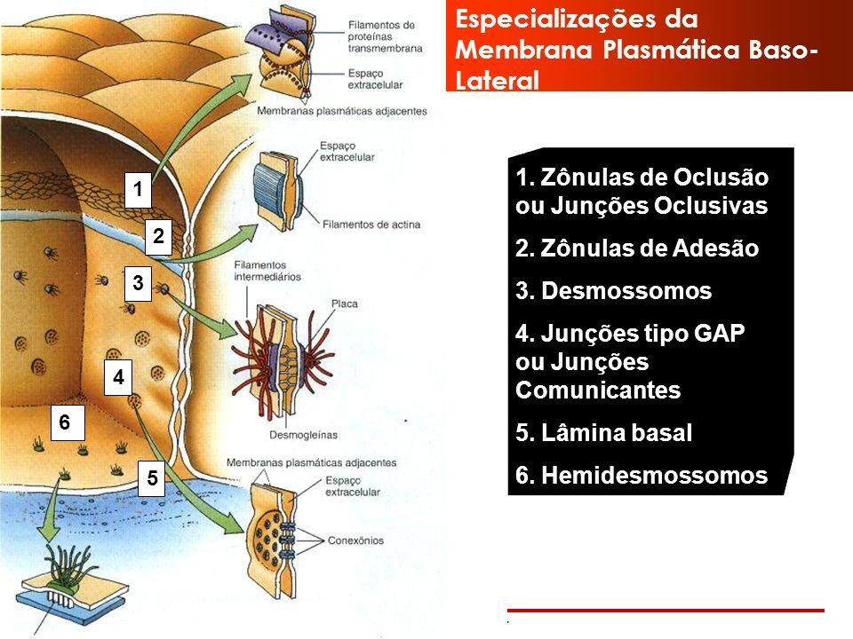 Especializações da Membrana Plasmática Baso-Lateral