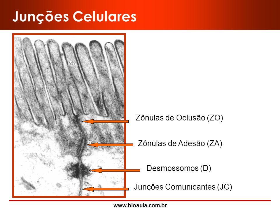 Junções Celulares Zônulas de Adesão (ZA) Zônulas de Oclusão (ZO)