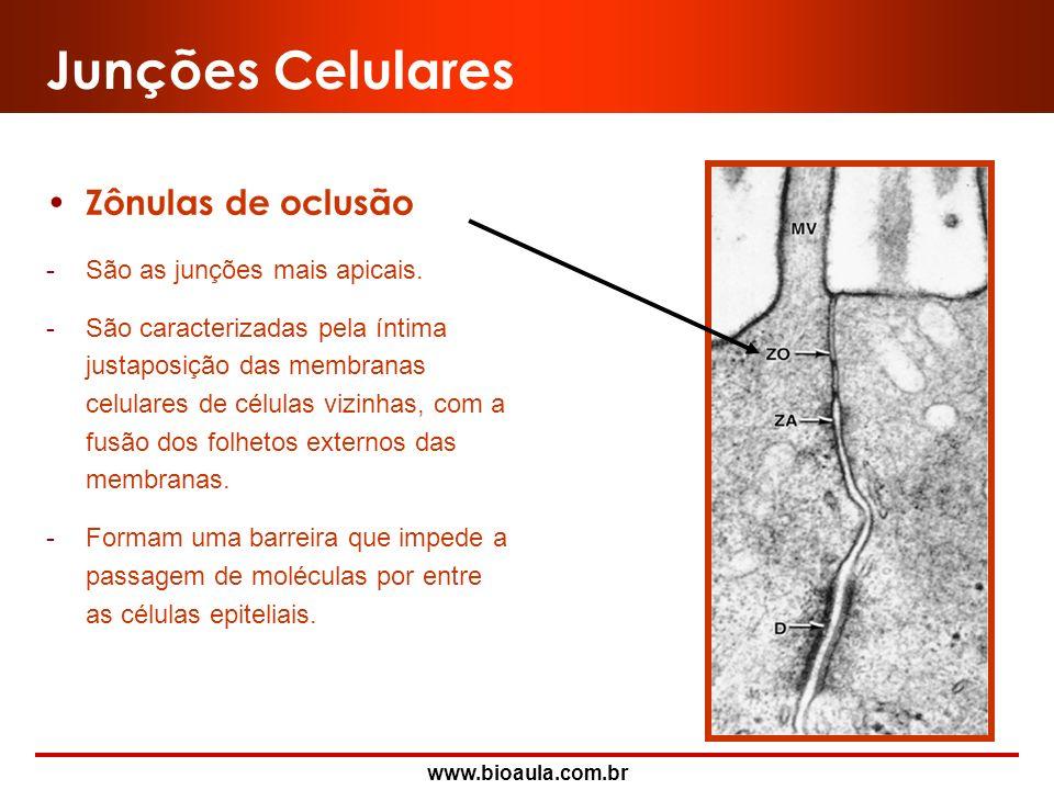 Junções Celulares Zônulas de oclusão São as junções mais apicais.