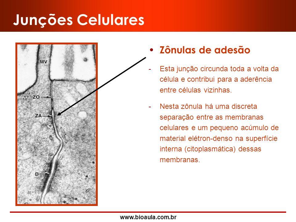 Junções Celulares Zônulas de adesão
