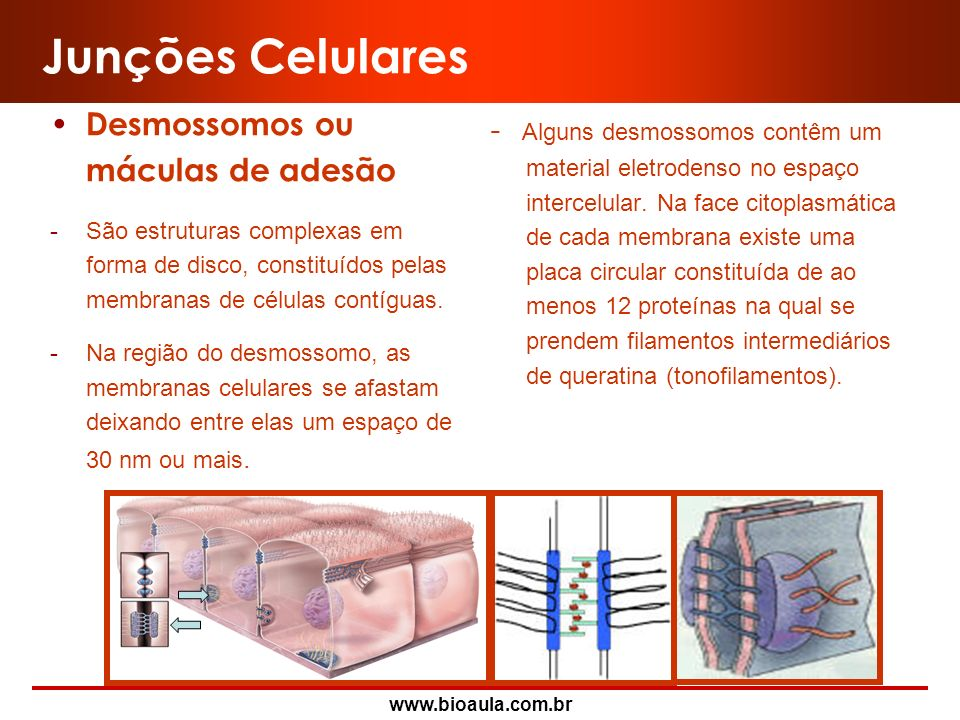 Junções Celulares Desmossomos ou máculas de adesão