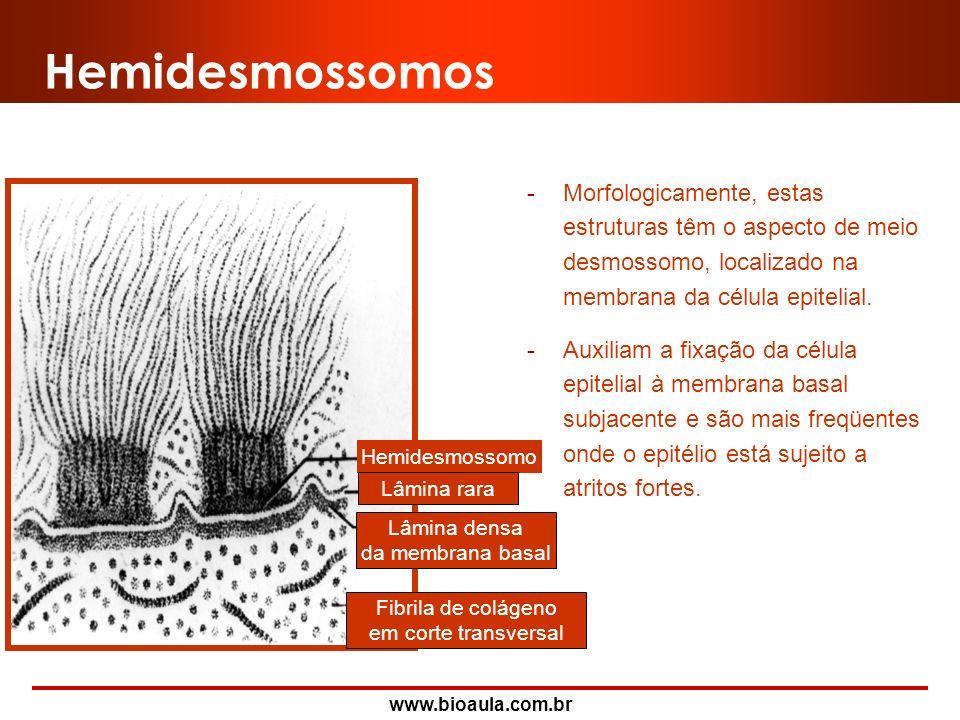 Hemidesmossomos Morfologicamente, estas estruturas têm o aspecto de meio desmossomo, localizado na membrana da célula epitelial.