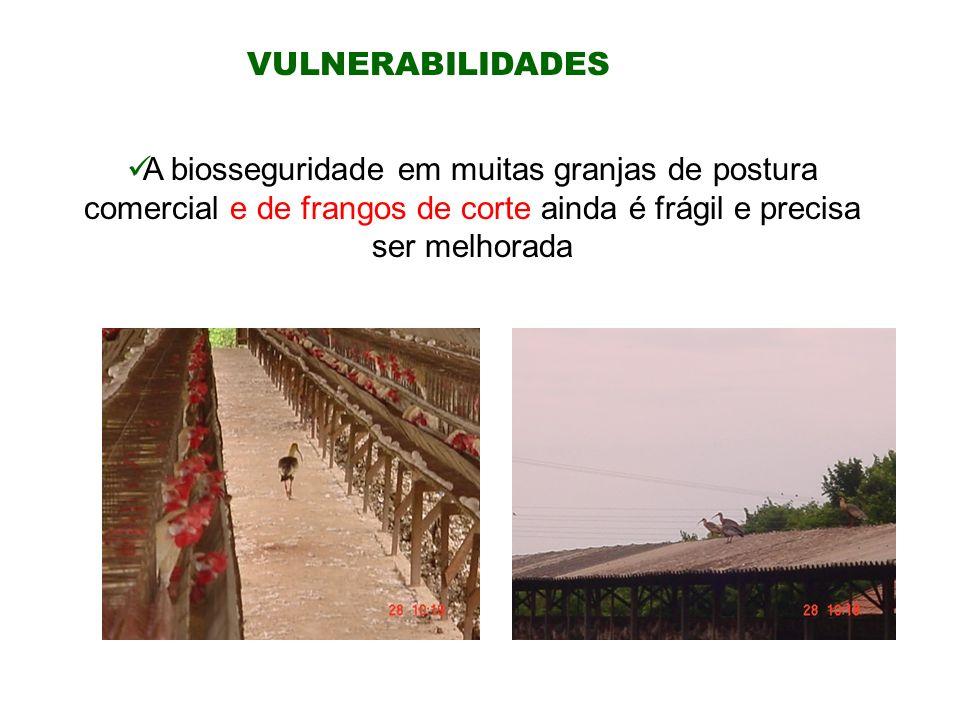 VULNERABILIDADES A biosseguridade em muitas granjas de postura comercial e de frangos de corte ainda é frágil e precisa ser melhorada.