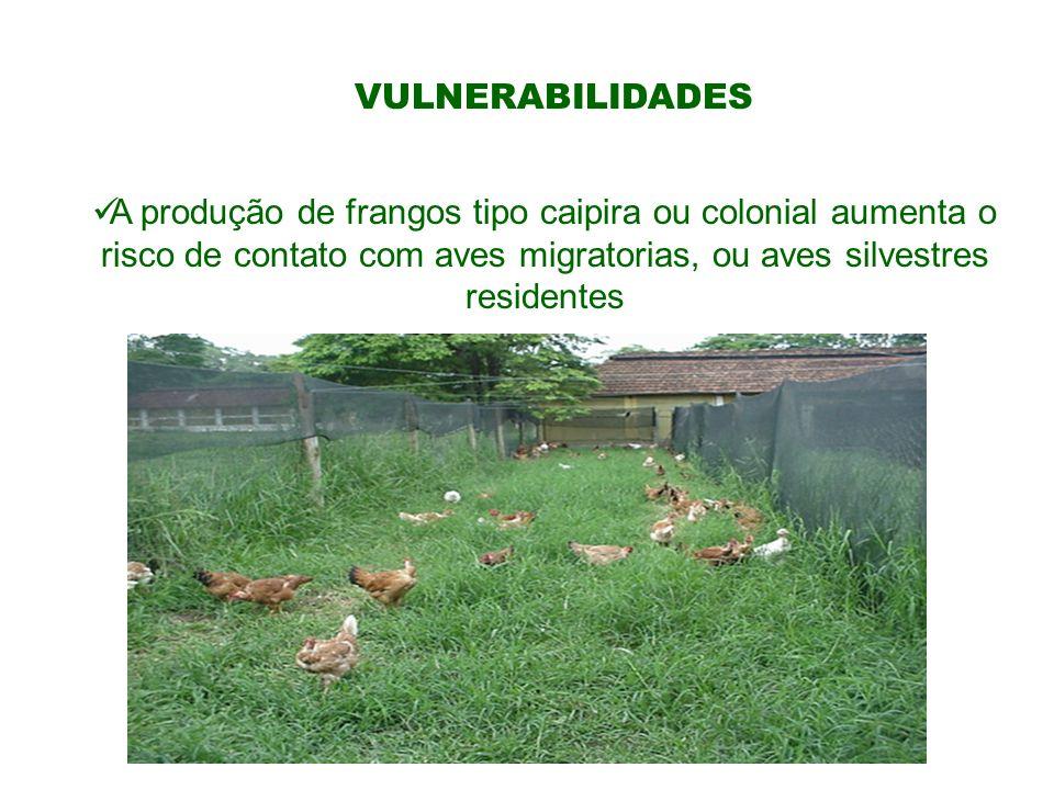 VULNERABILIDADESA produção de frangos tipo caipira ou colonial aumenta o risco de contato com aves migratorias, ou aves silvestres residentes.