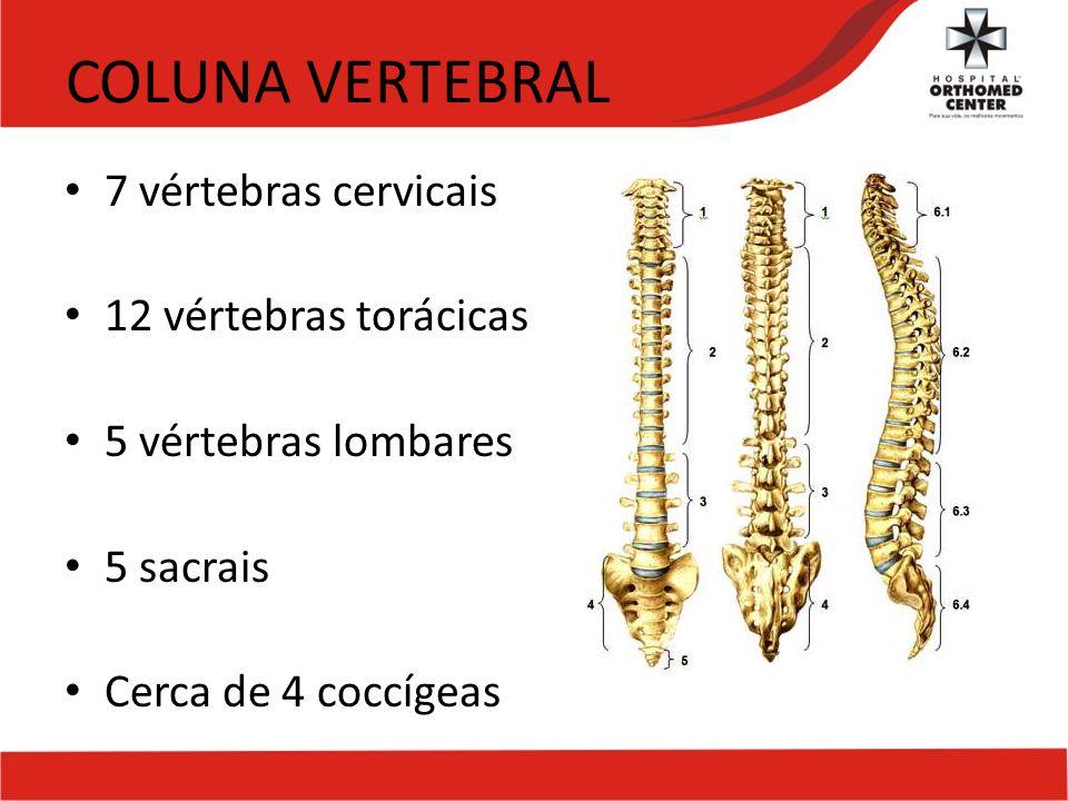 Atractivo 12 Vértebras Bandera - Imágenes de Anatomía Humana ...