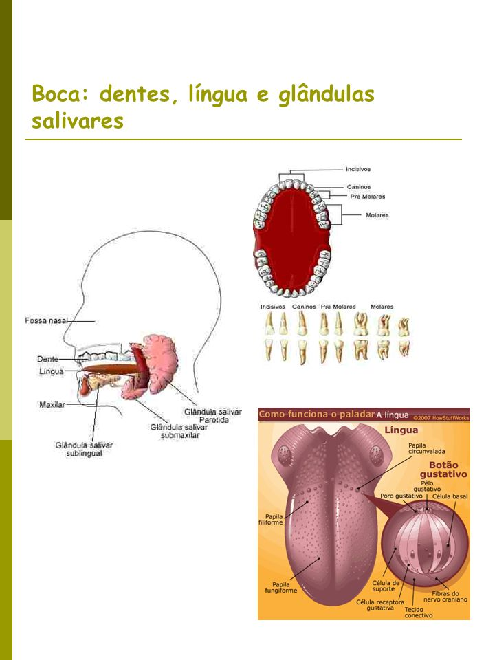 Boca: dentes, língua e glândulas salivares