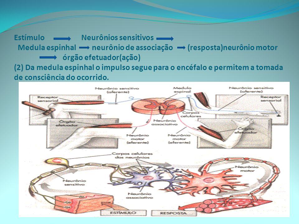 Estímulo Neurônios sensitivos Medula espinhal neurônio de associação (resposta)neurônio motor órgão efetuador(ação) (2) Da medula espinhal o impulso segue para o encéfalo e permitem a tomada de consciência do ocorrido.
