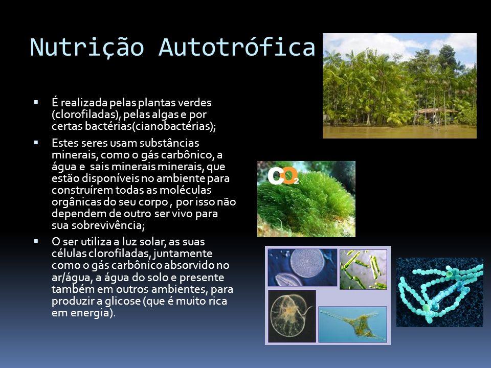 Nutrição Autotrófica É realizada pelas plantas verdes (clorofiladas), pelas algas e por certas bactérias(cianobactérias);