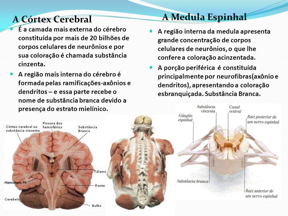 A Medula Espinhal A Córtex Cerebral