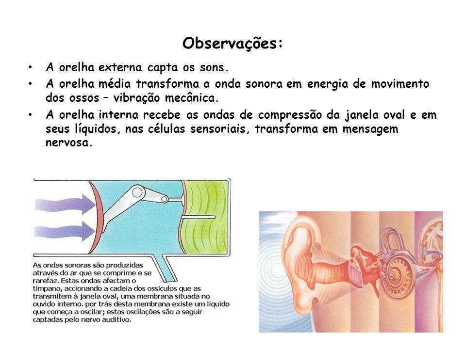 Observações: A orelha externa capta os sons.