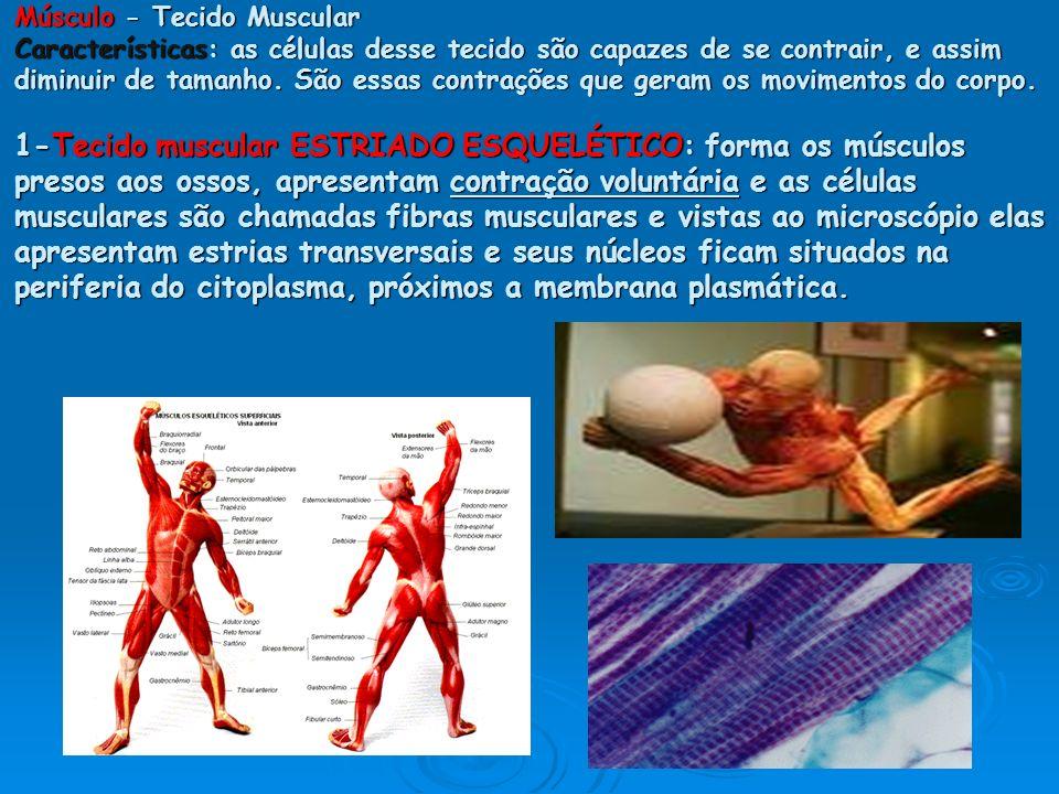 Músculo - Tecido Muscular Características: as células desse tecido são capazes de se contrair, e assim diminuir de tamanho.