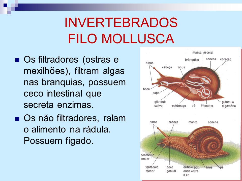 INVERTEBRADOS FILO MOLLUSCA