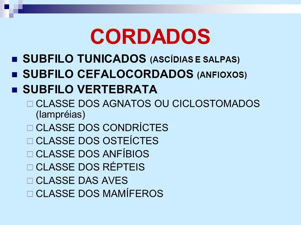CORDADOS SUBFILO TUNICADOS (ASCÍDIAS E SALPAS)