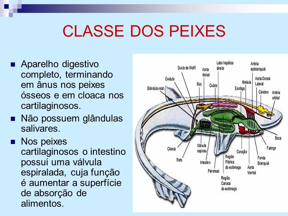 CLASSE DOS PEIXES Aparelho digestivo completo, terminando em ânus nos peixes ósseos e em cloaca nos cartilaginosos.