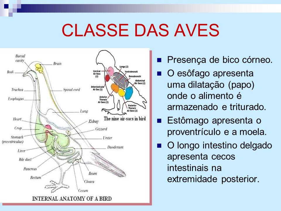 CLASSE DAS AVES Presença de bico córneo.