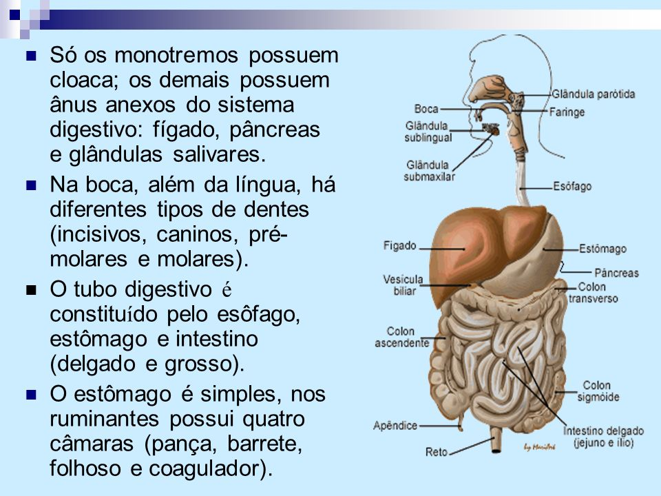 Só os monotremos possuem cloaca; os demais possuem ânus anexos do sistema digestivo: fígado, pâncreas e glândulas salivares.