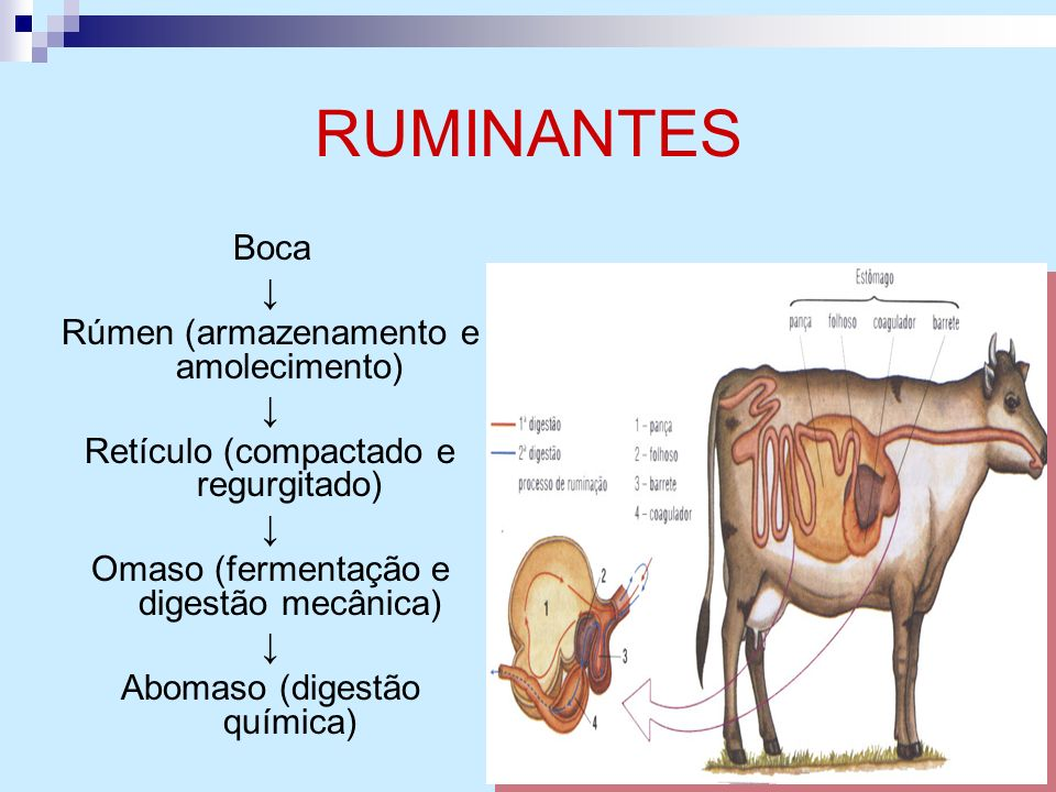 RUMINANTES Boca ↓ Rúmen (armazenamento e amolecimento)