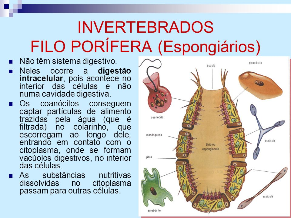 INVERTEBRADOS FILO PORÍFERA (Espongiários)