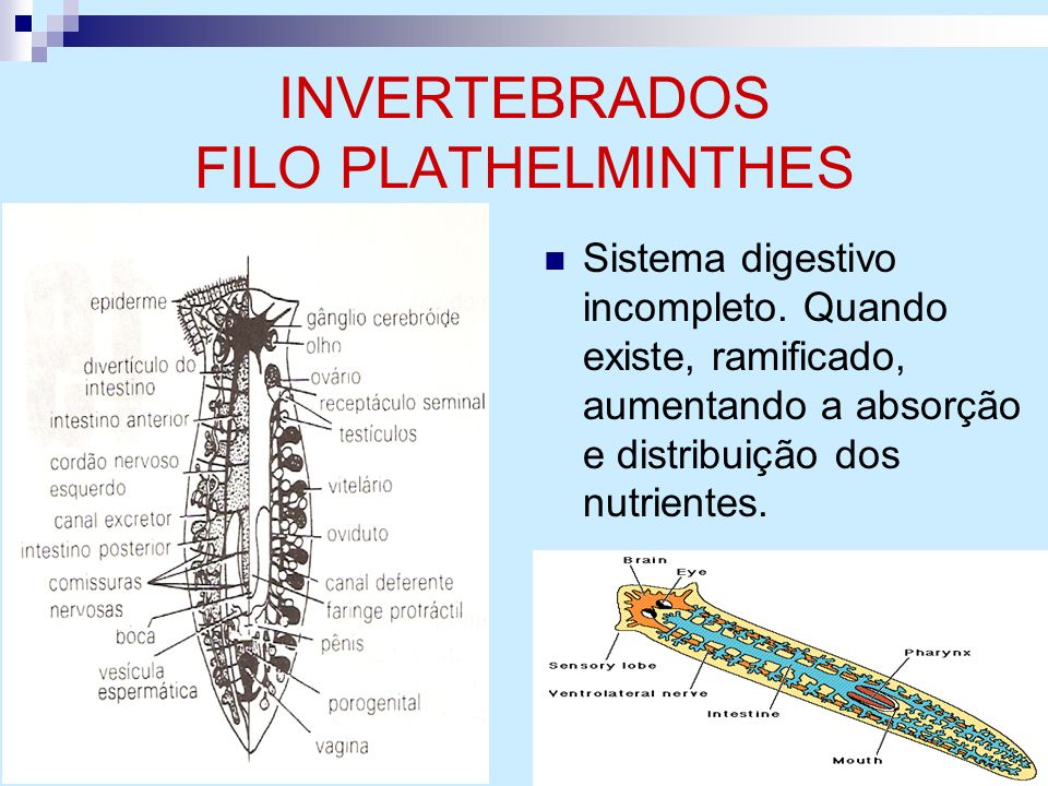 INVERTEBRADOS FILO PLATHELMINTHES