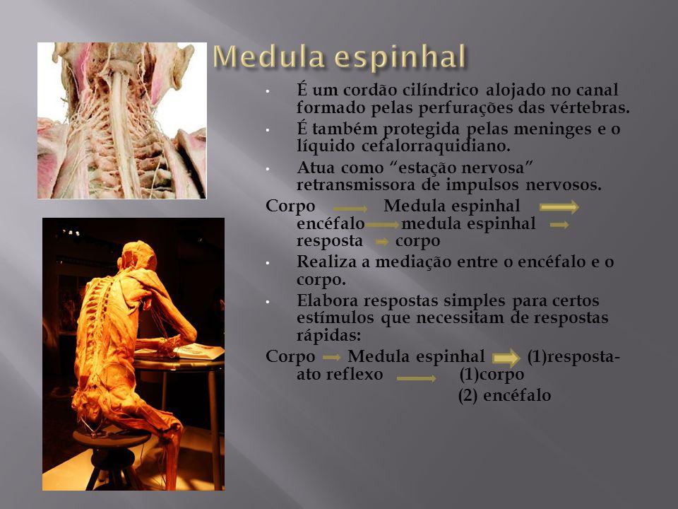 Medula espinhal É um cordão cilíndrico alojado no canal formado pelas perfurações das vértebras.