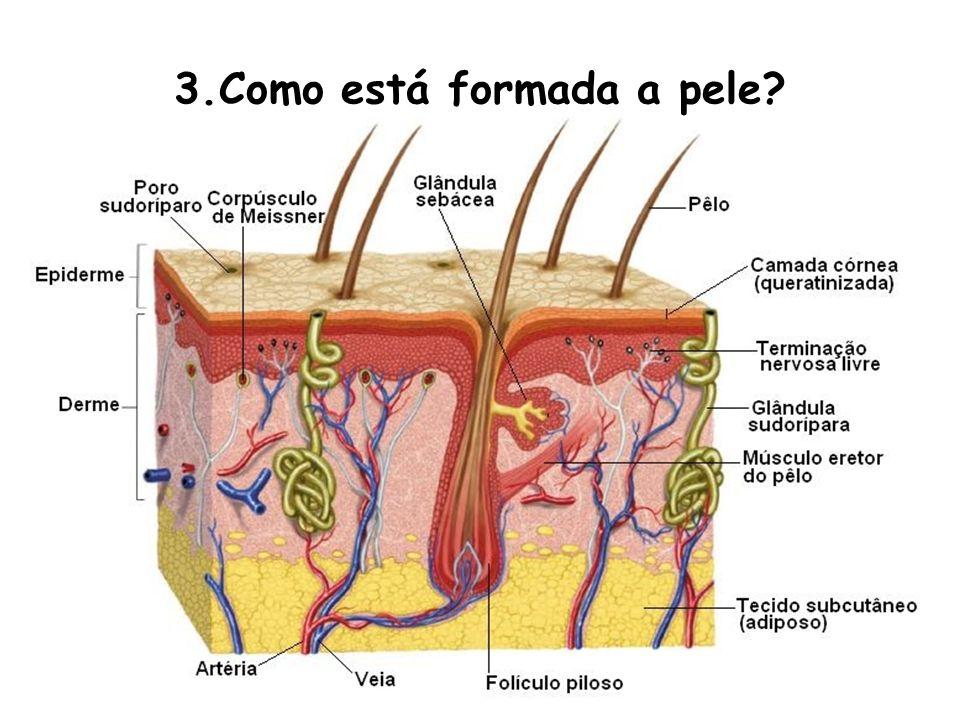 3.Como está formada a pele
