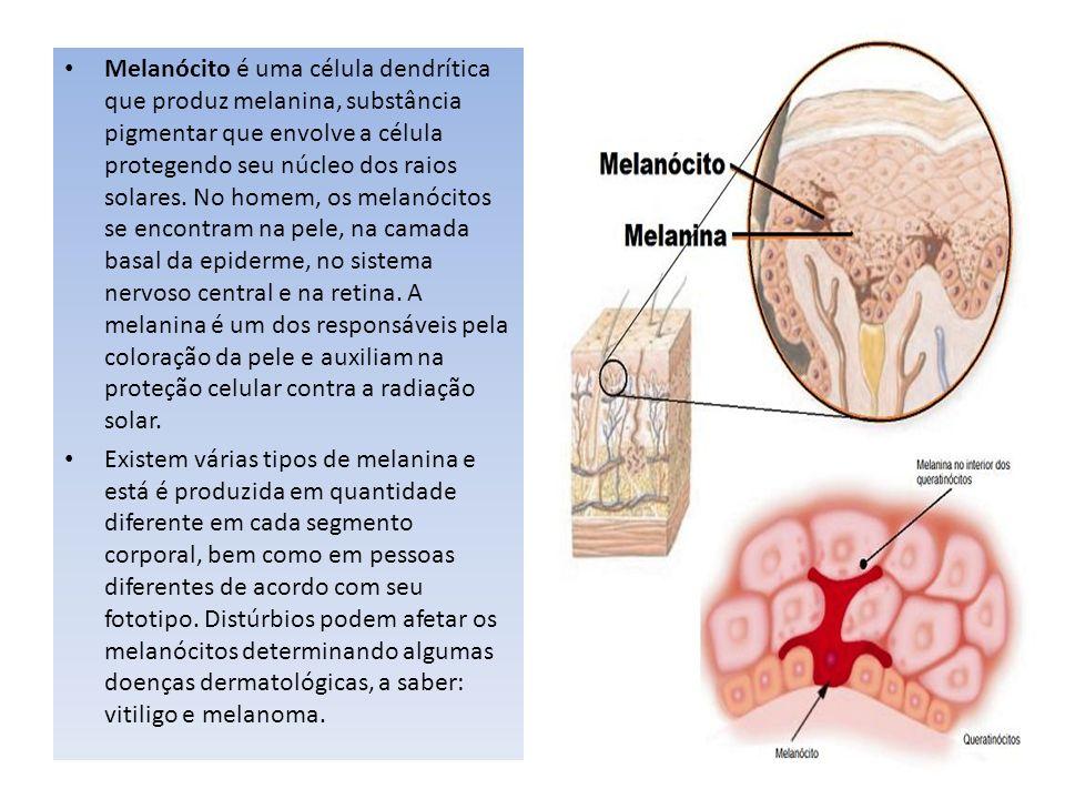 Melanócito é uma célula dendrítica que produz melanina, substância pigmentar que envolve a célula protegendo seu núcleo dos raios solares. No homem, os melanócitos se encontram na pele, na camada basal da epiderme, no sistema nervoso central e na retina. A melanina é um dos responsáveis pela coloração da pele e auxiliam na proteção celular contra a radiação solar.