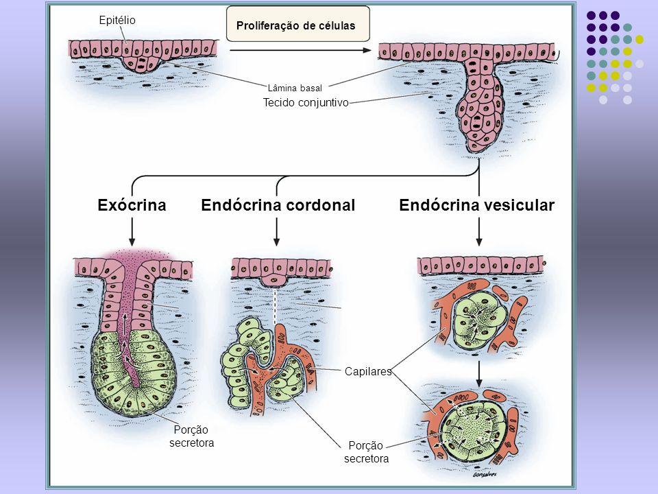 Exócrina Endócrina cordonal Endócrina vesicular Epitélio