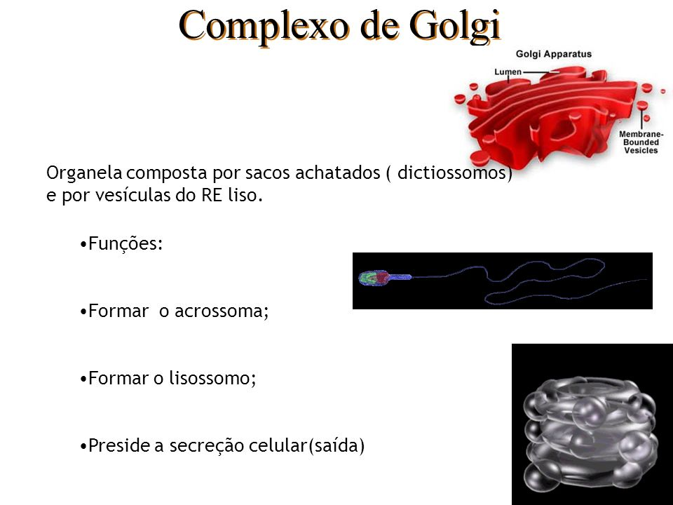 Complexo de Golgi Organela composta por sacos achatados ( dictiossomos) e por vesículas do RE liso.