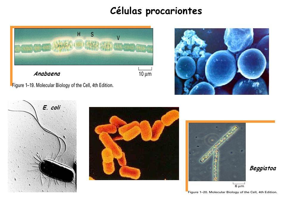 Células procariontes Anabaena E. coli Beggiatoa