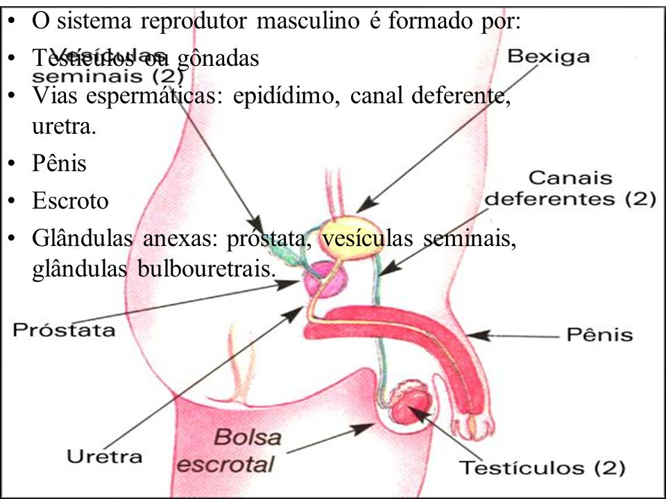 O sistema reprodutor masculino é formado por: