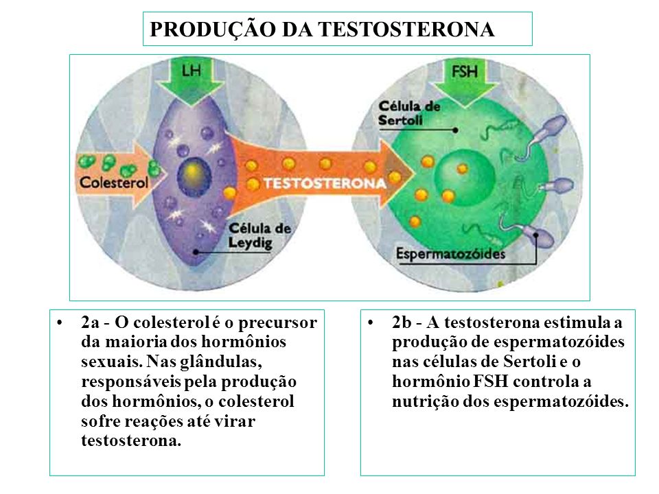 PRODUÇÃO DA TESTOSTERONA