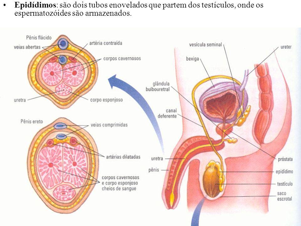 Epidídimos: são dois tubos enovelados que partem dos testículos, onde os espermatozóides são armazenados.