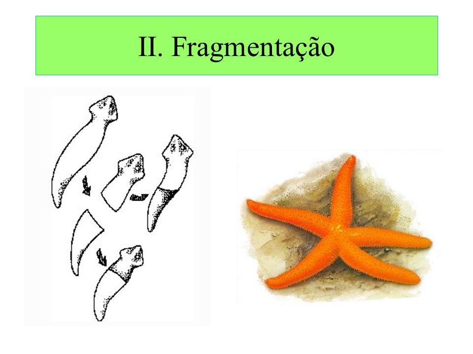 II. Fragmentação