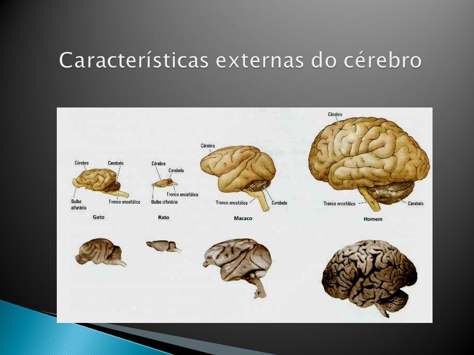 Características externas do cérebro