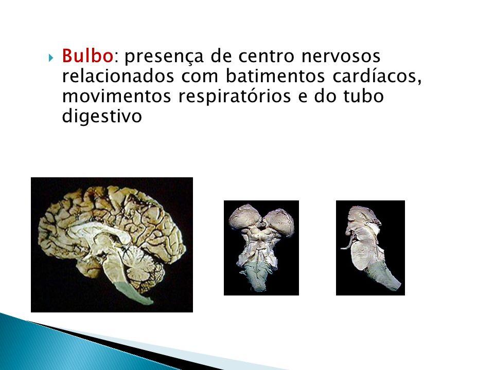 Bulbo: presença de centro nervosos relacionados com batimentos cardíacos, movimentos respiratórios e do tubo digestivo
