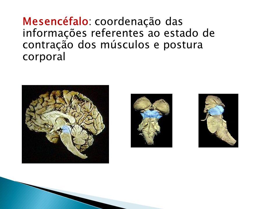 Mesencéfalo: coordenação das informações referentes ao estado de contração dos músculos e postura corporal