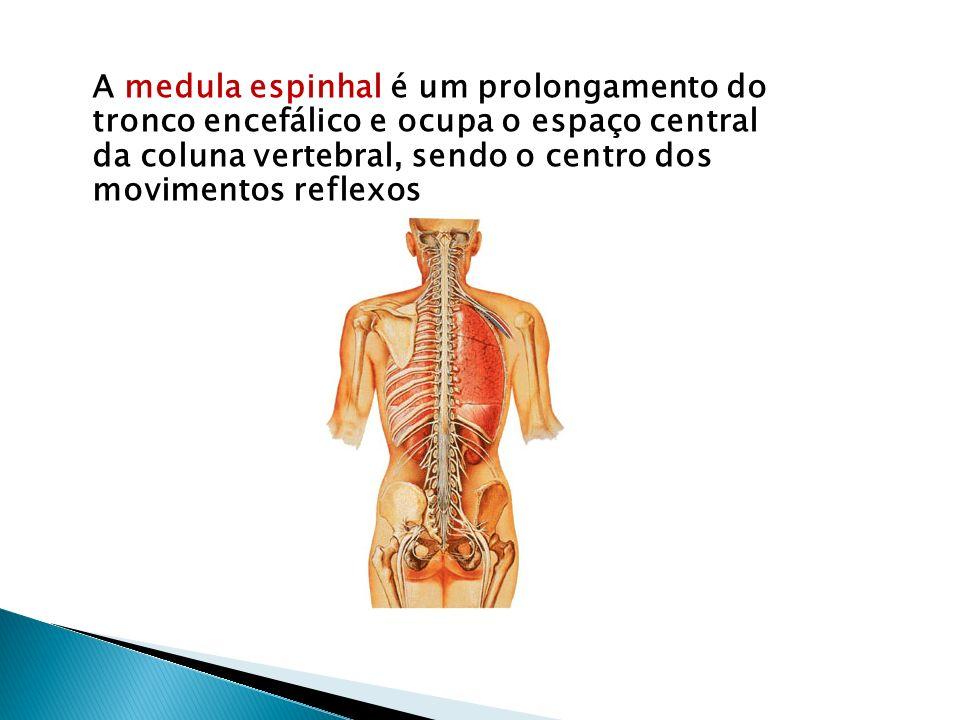 A medula espinhal é um prolongamento do tronco encefálico e ocupa o espaço central da coluna vertebral, sendo o centro dos movimentos reflexos