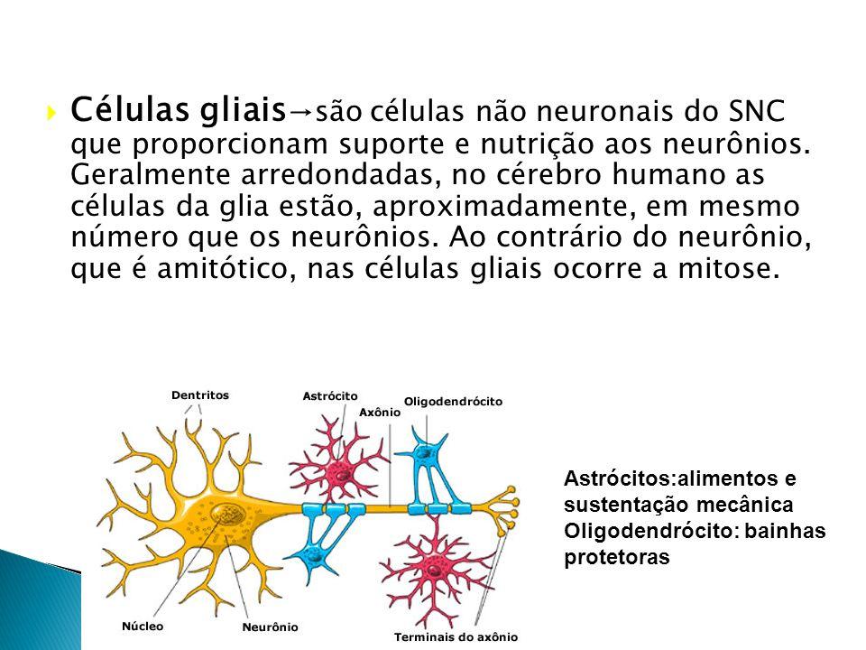 Células gliais→são células não neuronais do SNC que proporcionam suporte e nutrição aos neurônios. Geralmente arredondadas, no cérebro humano as células da glia estão, aproximadamente, em mesmo número que os neurônios. Ao contrário do neurônio, que é amitótico, nas células gliais ocorre a mitose.