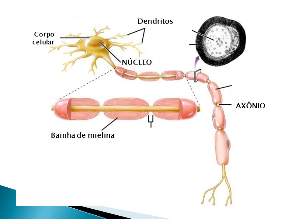 Dendritos Corpo celular NÚCLEO AXÔNIO Bainha de mielina