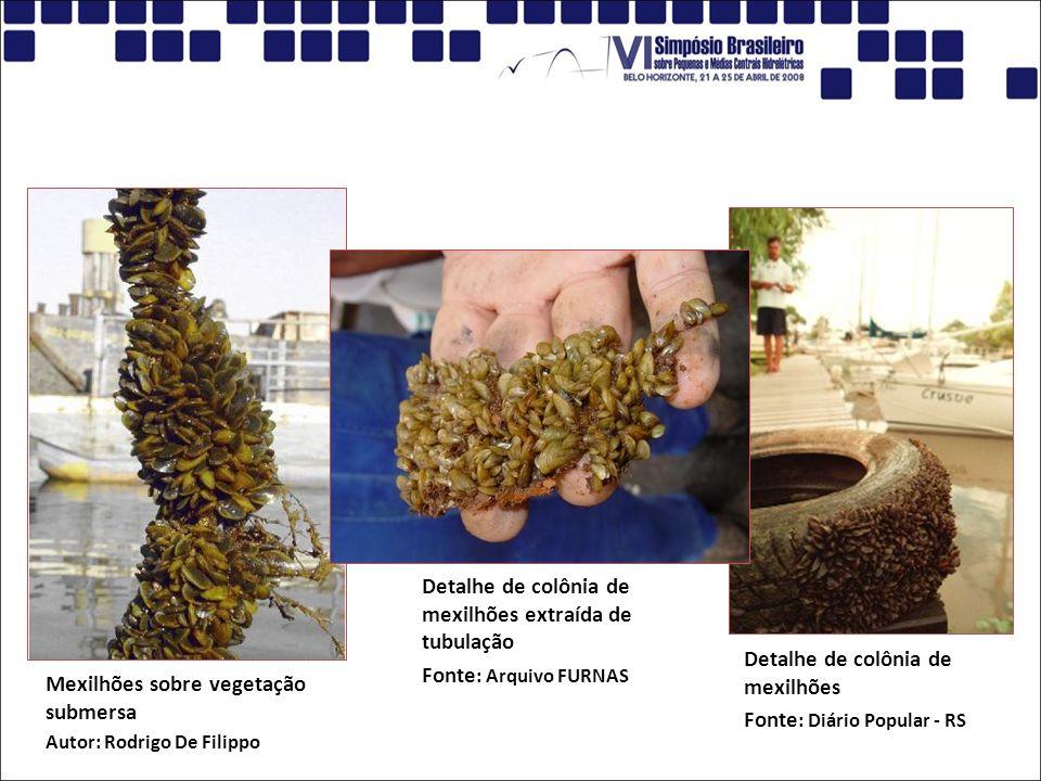 Detalhe de colônia de mexilhões Fonte: Diário Popular - RS
