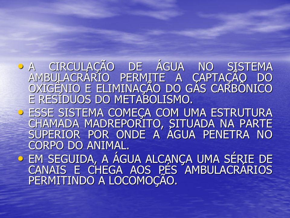 A CIRCULAÇÃO DE ÁGUA NO SISTEMA AMBULACRÁRIO PERMITE A CAPTAÇÃO DO OXIGÊNIO E ELIMINAÇÃO DO GÁS CARBÔNICO E RESÍDUOS DO METABOLISMO.