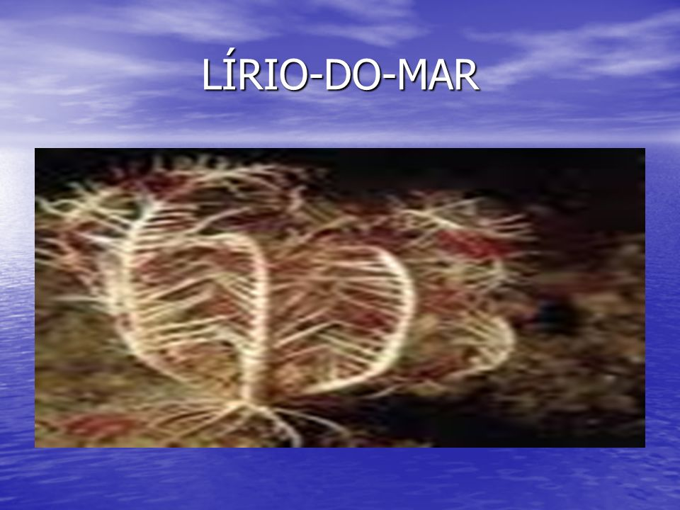 LÍRIO-DO-MAR