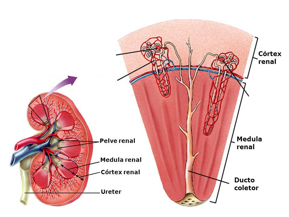 Córtex renal Medula renal Ducto coletor Pelve renal Medula renal