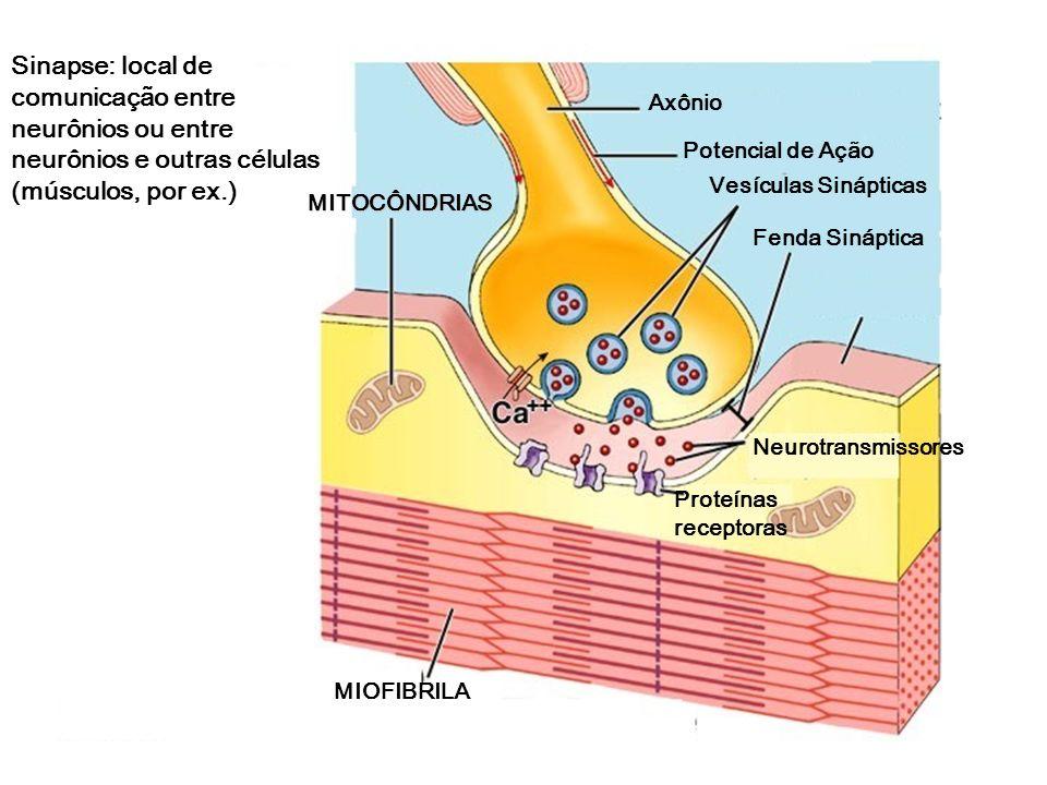 Sinapse: local de comunicação entre neurônios ou entre neurônios e outras células