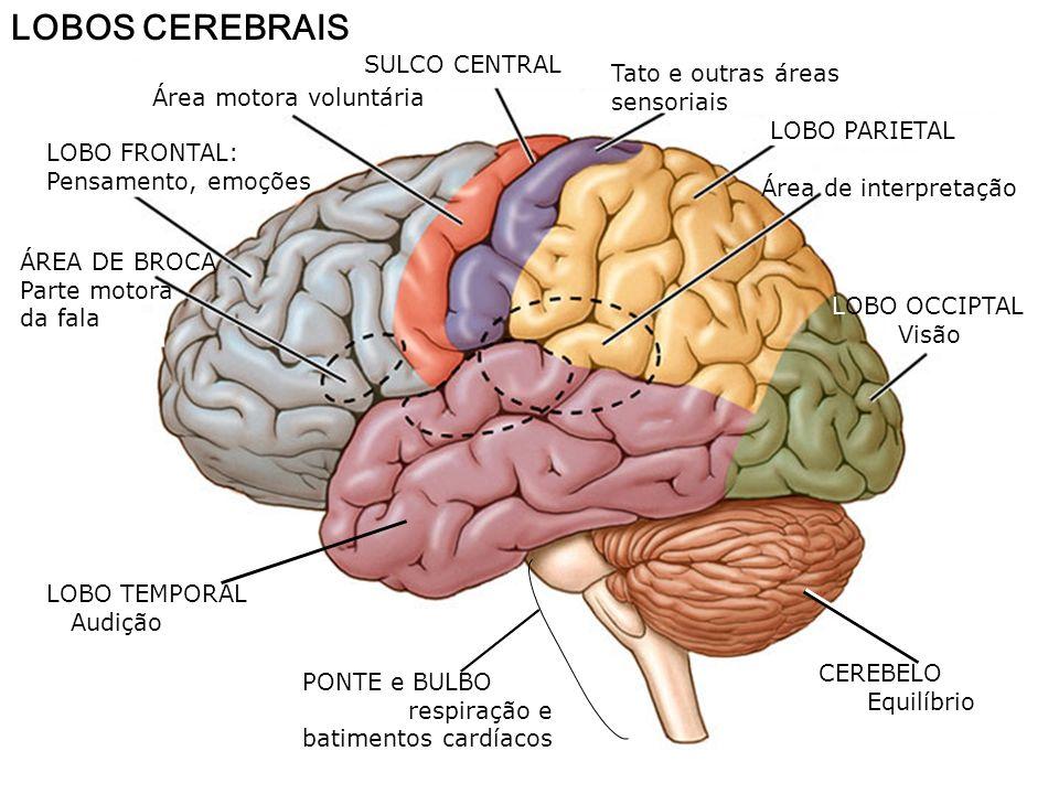 LOBOS CEREBRAIS SULCO CENTRAL Tato e outras áreas sensoriais