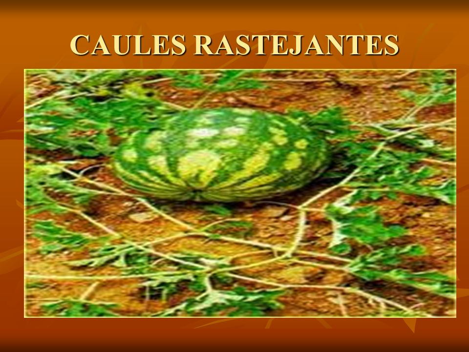 CAULES RASTEJANTES