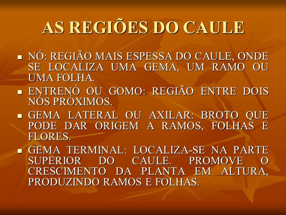 AS REGIÕES DO CAULE NÓ: REGIÃO MAIS ESPESSA DO CAULE, ONDE SE LOCALIZA UMA GEMA, UM RAMO OU UMA FOLHA.