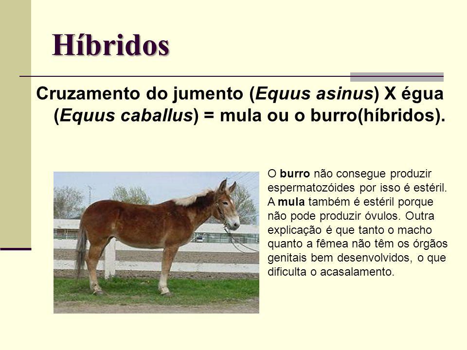 Híbridos Cruzamento do jumento (Equus asinus) X égua (Equus caballus) = mula ou o burro(híbridos).