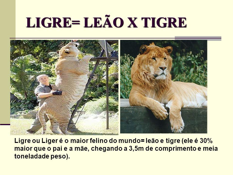 LIGRE= LEÃO X TIGRE