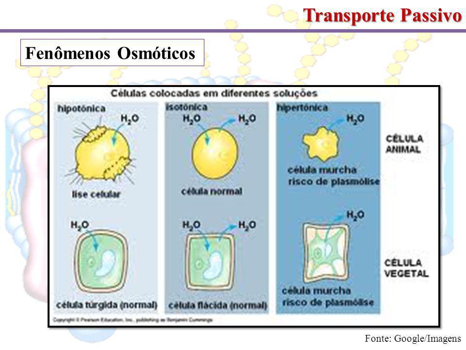 Transporte Passivo Fenômenos Osmóticos Fonte: Google/Imagens